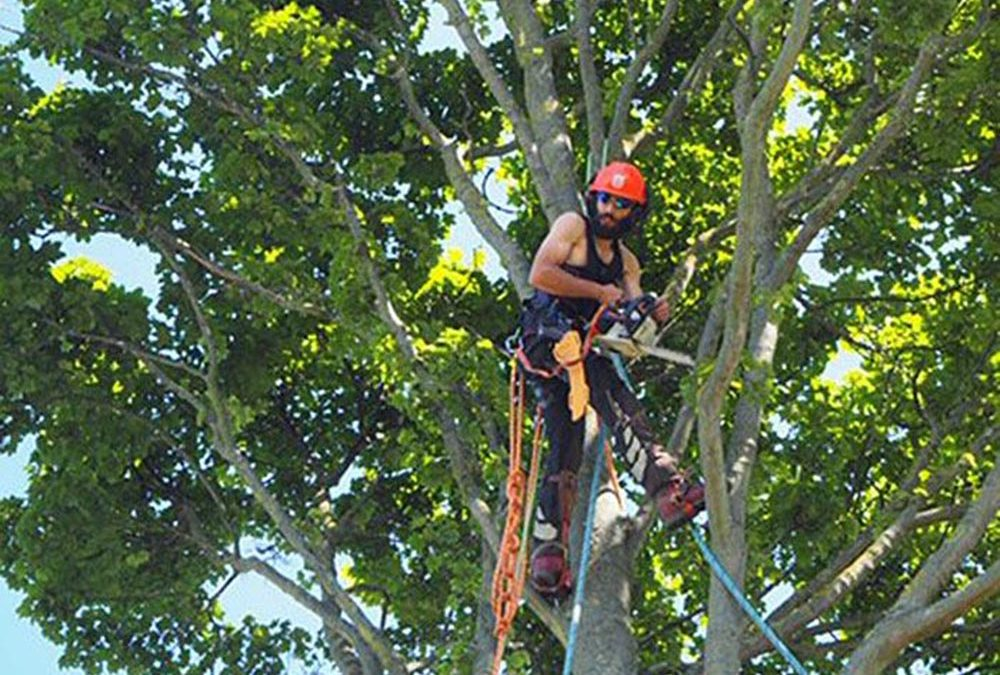 Sectional Dismantle of Sycamore